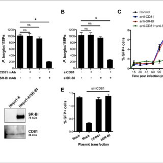 Human hepatocyte cell lines can be traversed by P
