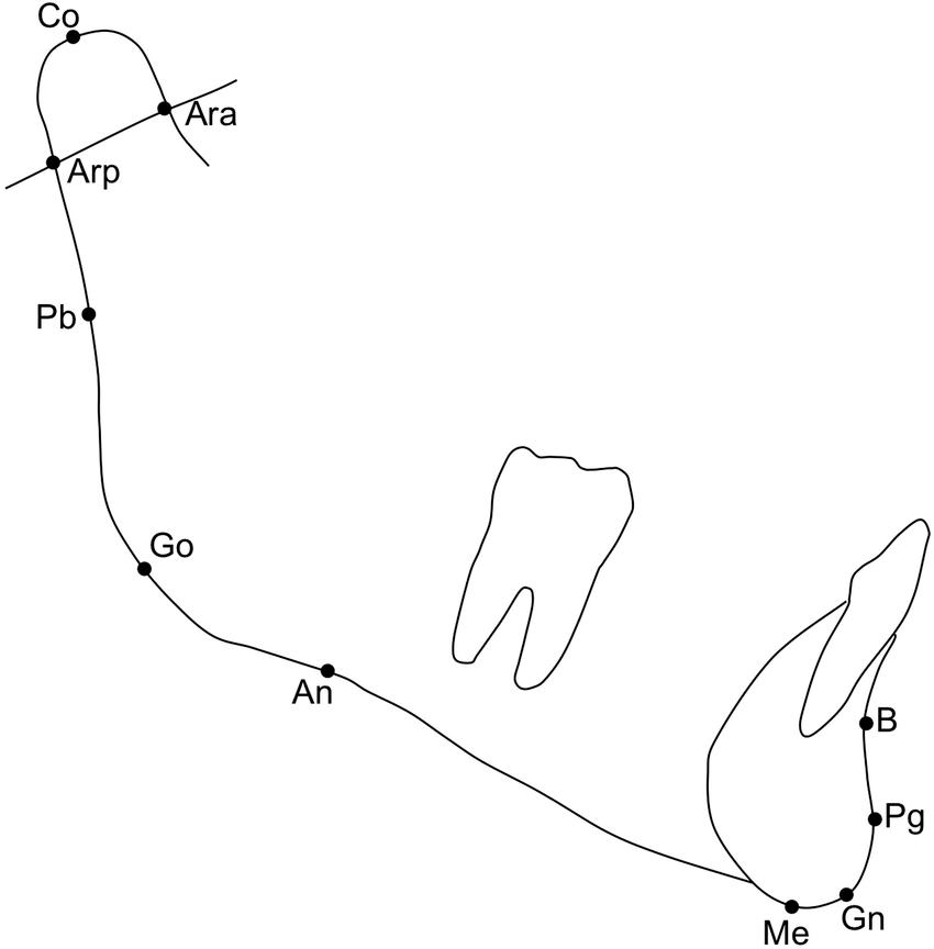 Cephalometric mandibular anatomical landmarks. B, point B