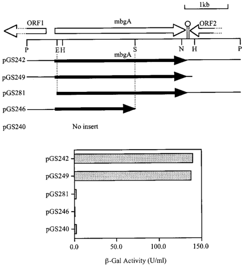 small resolution of restriction map and genetic organization of the b megaterium galactosidase gene mbga