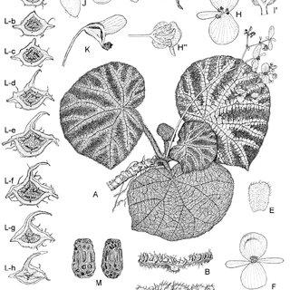 Begonia ningmingensis D. Fang, Y. G. Wei & C.-I Peng var