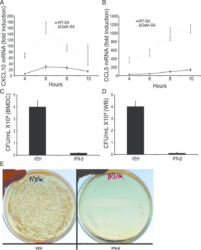 medium resolution of ifn b induces chemokines and enhances phagocyte killing of s aureus a