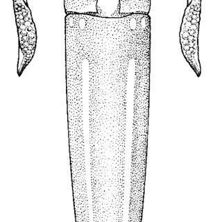 (PDF) Family Ommastrephidae