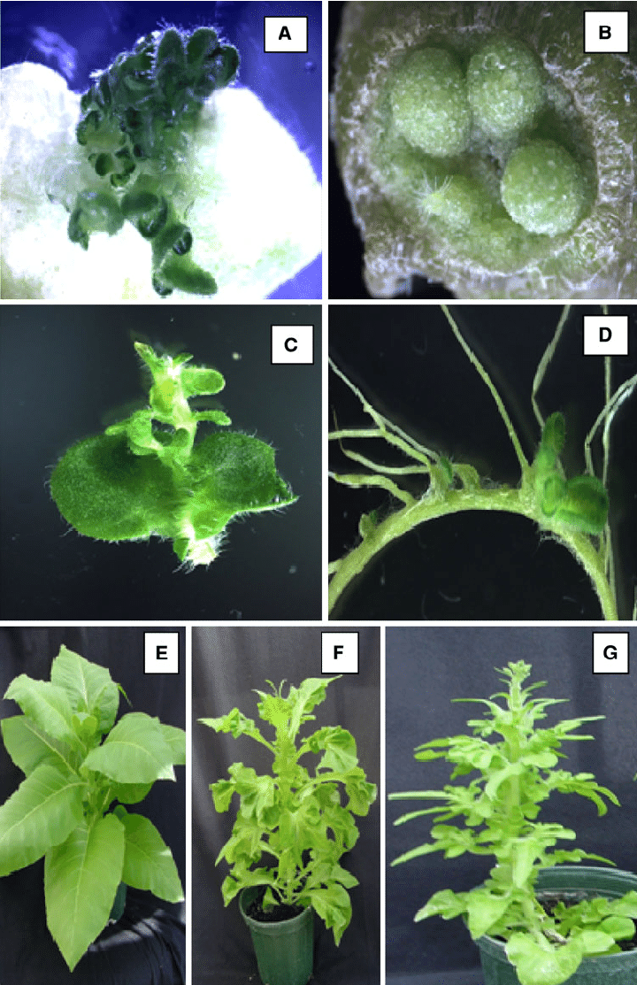 from to seed plant diagram dmz network with 3 adventitious shoot regeneration in situ and vitro cultured leaf... | download scientific ...