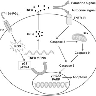 15d-PGJ2-induced signaling is calcium-independent and