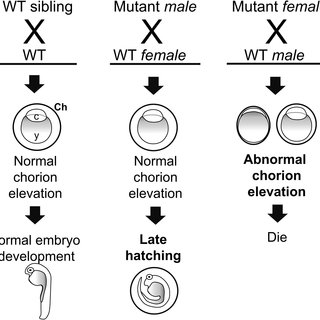 A flowchart summarizing the generation of mutant zebrafish