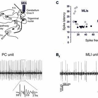 (PDF) Tactile Stimulation Evokes Long-Lasting Potentiation