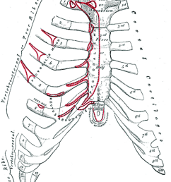 the anterior surface of the sternum and costal cartilages18  [ 850 x 1070 Pixel ]