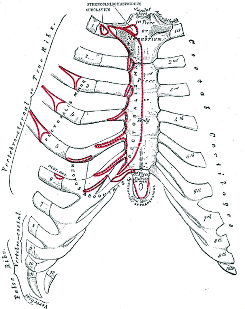 medium resolution of the anterior surface of the sternum and costal cartilages18