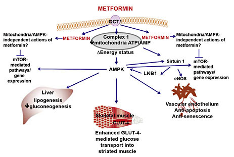 Putative cellular sites of action of metformin in the ...