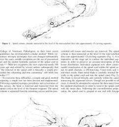 spinal cord cheetah a 25 cm long 5 mm  [ 850 x 1105 Pixel ]