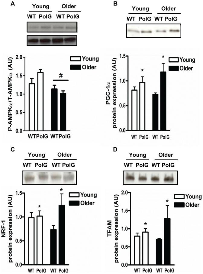 AMPKα activation (A), PGC-1α (B), NRF-1 (C), and Tfam (D