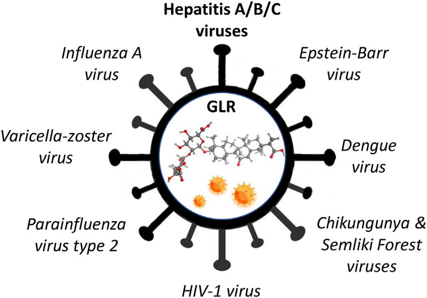 Antiviral activities of GLR. The drug is active against aa