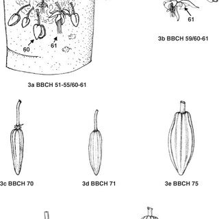 (PDF) Phenological growth stages of cacao plants