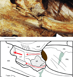 lateral view of the left lacrimal bone in mnhn f pru10 holotype [ 850 x 1164 Pixel ]