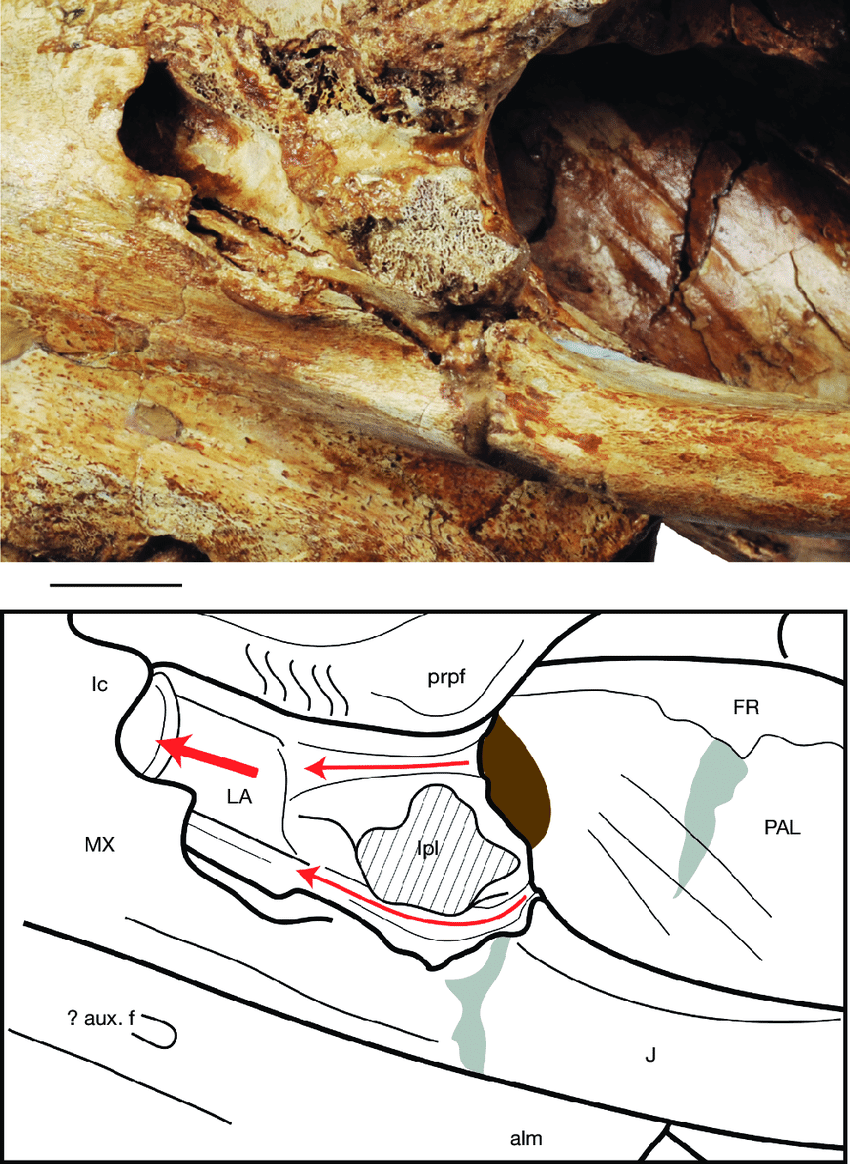 hight resolution of  lateral view of the left lacrimal bone in mnhn f pru10 holotype