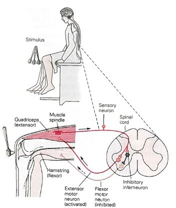 3: Neuronal circuit which generates the knee-jerk reflex