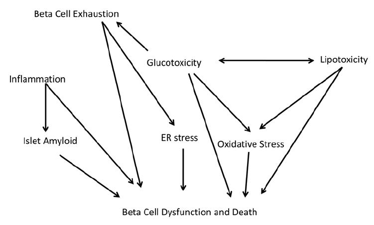 Proposed mechanisms of pancreatic beta (beta) cell