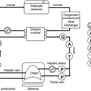 -Organ perfusion setup. The model consists of 2 separate