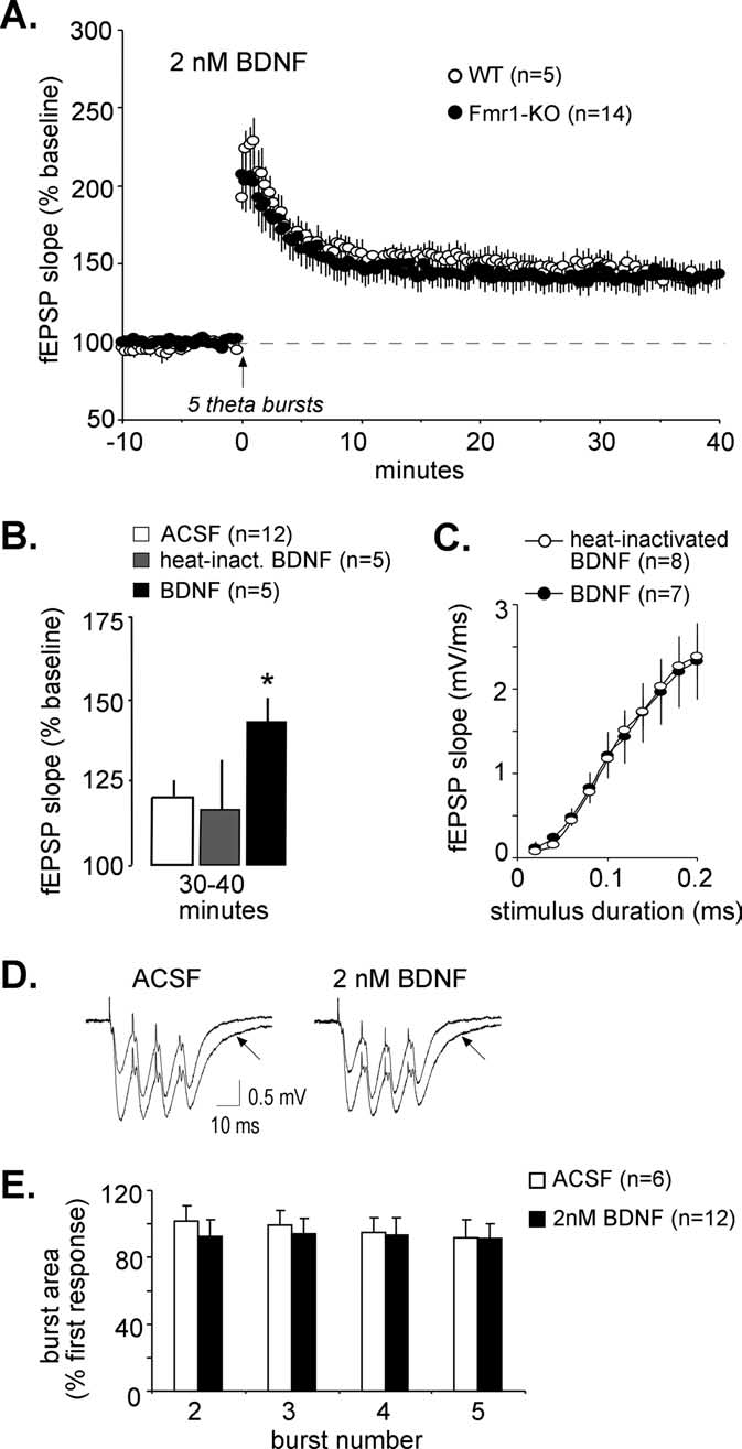 hight resolution of bdnf corrects the ltp deficit in fragile x hippocampus a five theta bursts were