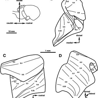 (PDF) Tonotopic Projections of the Auditory Nerve to the