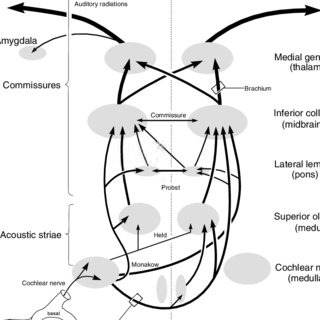 (PDF) The Central Auditory System: A Functional Analysis