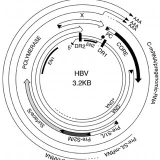 Hepadnavirus life cycle. The details of the replication