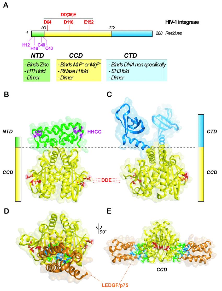 medium resolution of hiv 1 integrase structure a schematic diagram of the hiv 1 integrase