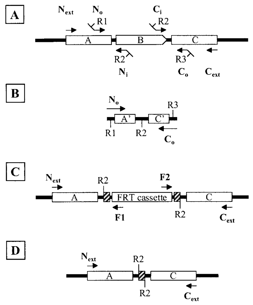 hight resolution of primer design for allele replacement construction and deletion confirmation intergenic chromosomal dna is shown as