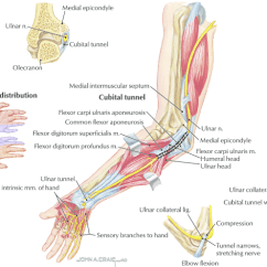 Ulnar Nerve Diagram Fisher Plow Wiring Schematic The Anatomy Of And Areas Entrapment Copyright Neck