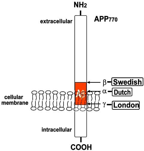 Schematic representation of APP 770 . (a) APP is a