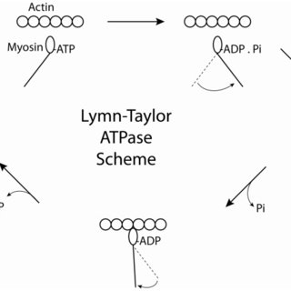 The structure of myosin and the organization of the