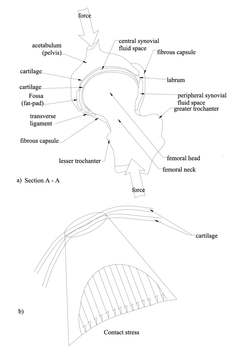 medium resolution of a section a a refer to figure 1 1c showing bone and soft tissue download scientific diagram
