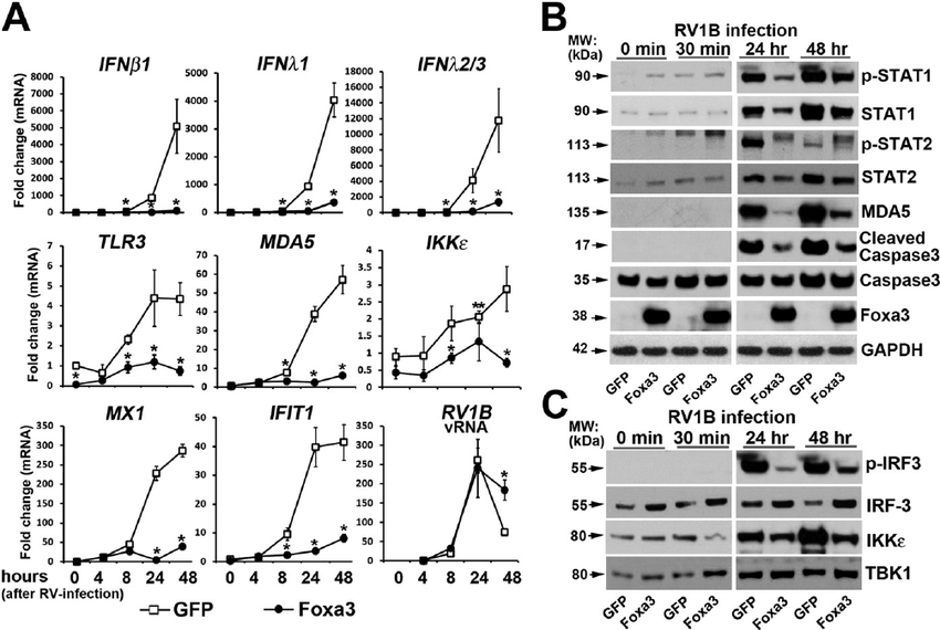 FOXA3 inhibited IFNs, IFN-stimulated genes, and viral
