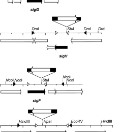 schematic drawing showing the genetic organization restriction map and protein encoding region of the [ 850 x 1249 Pixel ]