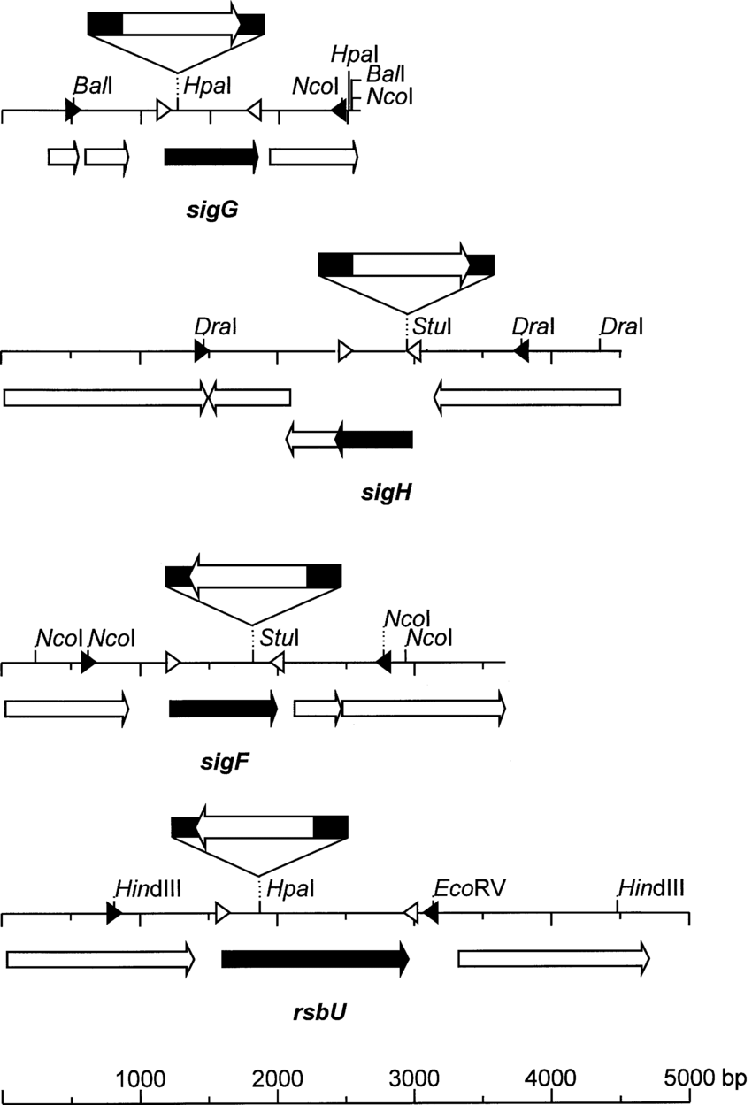 hight resolution of schematic drawing showing the genetic organization restriction map and protein encoding region of the