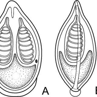 (PDF) Description of a New Species of Myxobolus (Myxozoa