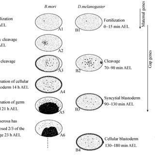 Schematic diagrams of silkworm embryogenesis [3,4] 1