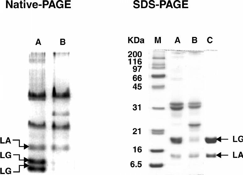Gel electrophoresis of whey proteins obtained from raw and