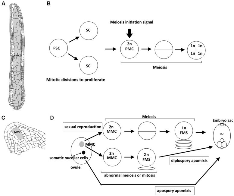 Structure of plant reproductive organs in maize and