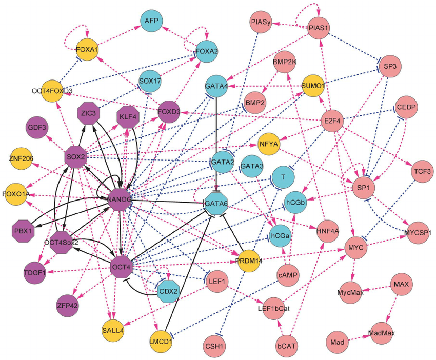 The Diagram For The Stem Cell Developmental Network Including