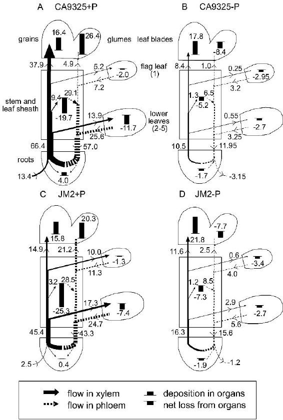Flow profiles for uptake, transport and utilization of P