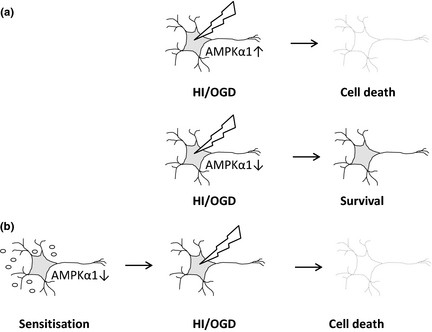 AMPK activation offers a dual target in the prevention of
