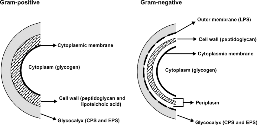 Cell location of polysaccharides produced by gram-positive