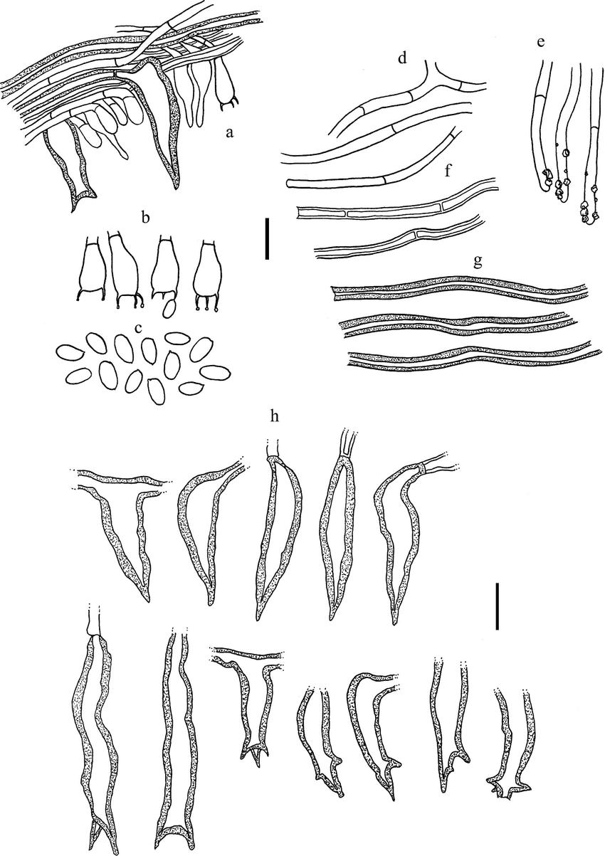 FIG. 2. Microscopic features of Fuscoporia bifurcata (all