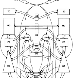 wiring diagram of known connections in mammalian brain that could most plausibly contribute to crossed  [ 850 x 1113 Pixel ]