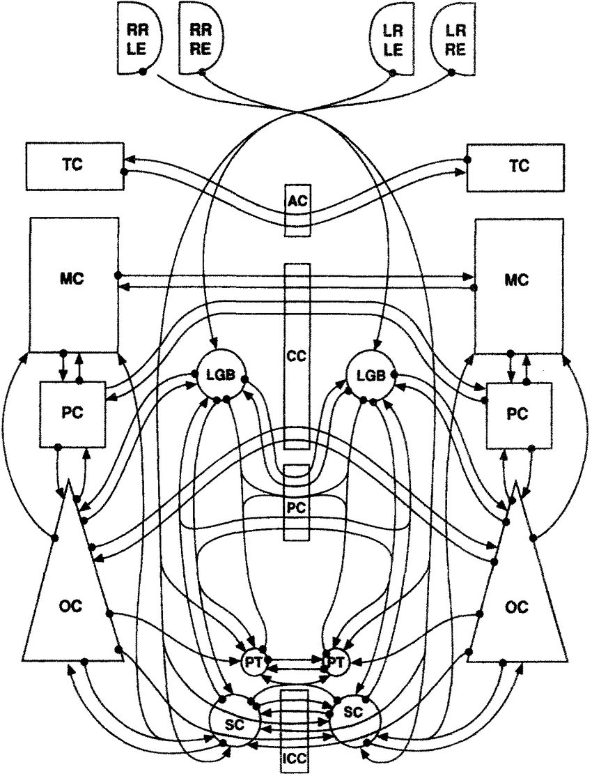 hight resolution of wiring diagram of known connections in mammalian brain that could most plausibly contribute to crossed