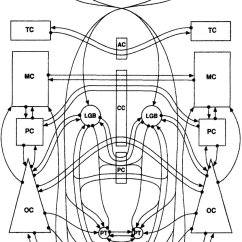 Msh Brain Wiring Diagram 1989 Ezgo Golf Cart Library Of Known Connections In Mammalian That Couldwiring