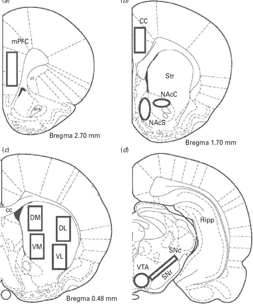 Schematic illustration of the mouse brain regions selected