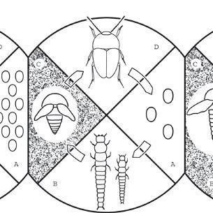 Carabid cave beetle Aphaenopidius kamnikensis. Adapted