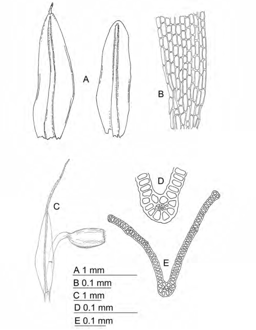small resolution of grimmia moxleyi a leaves b proximal leaf cells c sporophyte